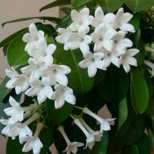 "Marsdenia Floribunda ""Stephanotis Vine"""