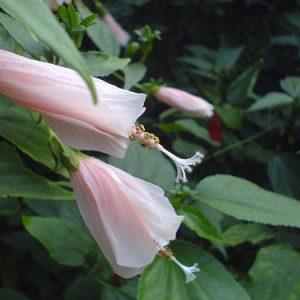Malvaviscus Arboreus ( Pink Turk's Cap )