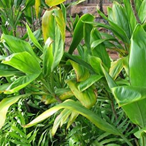 Cordyline Terminalis Green Ti