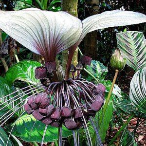 Tacca Integrifolia White Bat Flower
