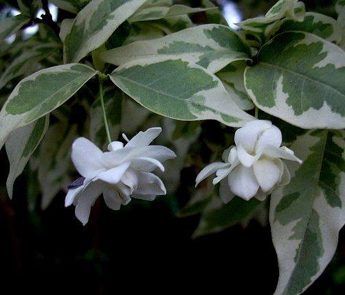 Wrightia Religiosa  Temple Flower Variegated