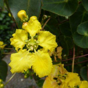 Stigmaphyllon Ciliatum Yellow Orchid Vine
