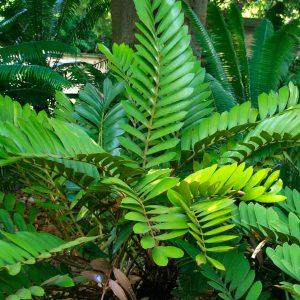Zamia Furfuracea Sago Palm