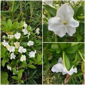 Brunsfelsia Jamaicensis