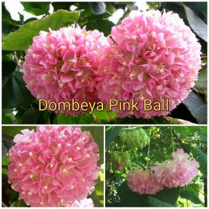 Dombeya Wallichii Pink Ball