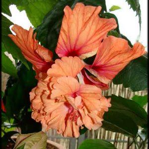 Hibiscus El Capitolio Orange Poodle Tail
