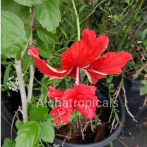 Hibiscus El Capitolio Red Poodle Tail