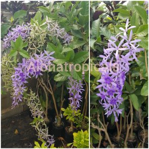 Petrea Volublis hyb.Giant Queens Wreath Sand Paper Vine