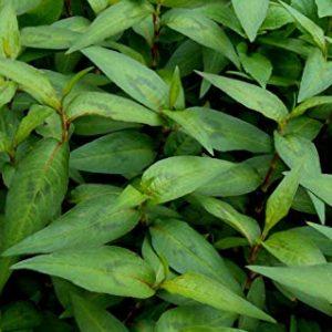 Vietnamese Coriander Persicaria Ordata